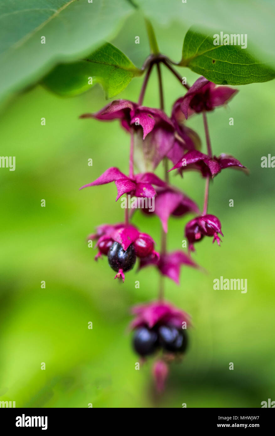 Berries hanging down on pretty plant - Stock Image