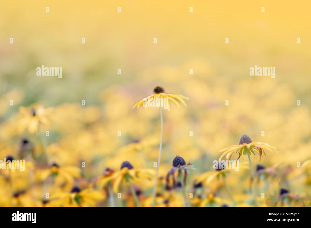 Sea of yellow flowers with one standing above the rest, macro photo so soft focus - Stock Image