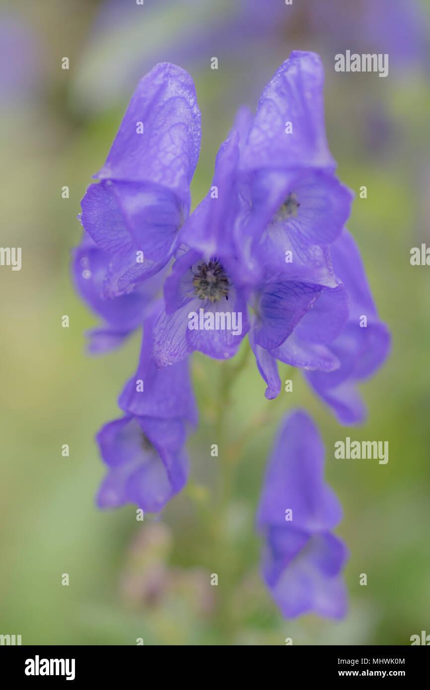 Pretty purple foxhglove, soft focus macro image - Stock Image