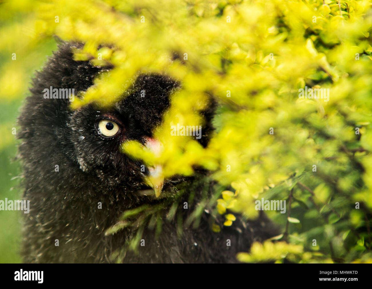 Cute little owlet peeping out from behind a bush - Stock Image