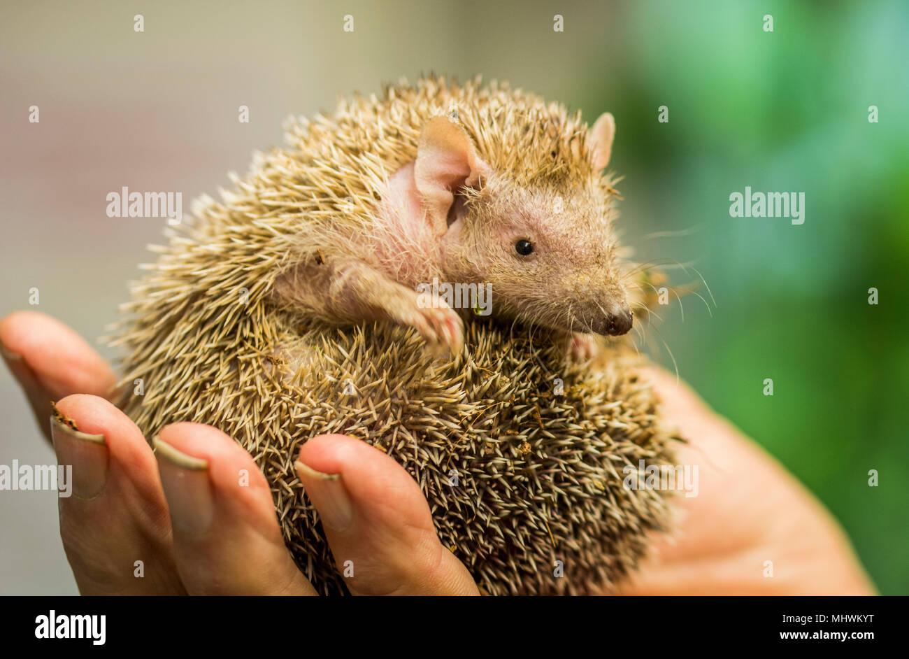 Cute litle Tenrec being held in keeps hand - Stock Image
