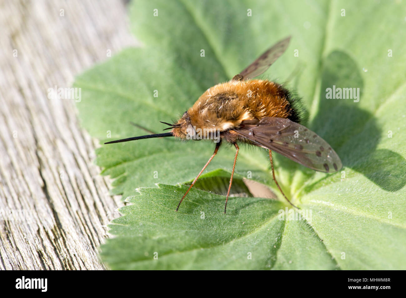 Bee fly with long proboscis resting on leaf Cotswolds UK - Stock Image