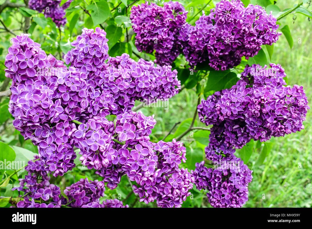 Purple Lilac flower, Syringa vulgaris Charles Joly - Stock Image