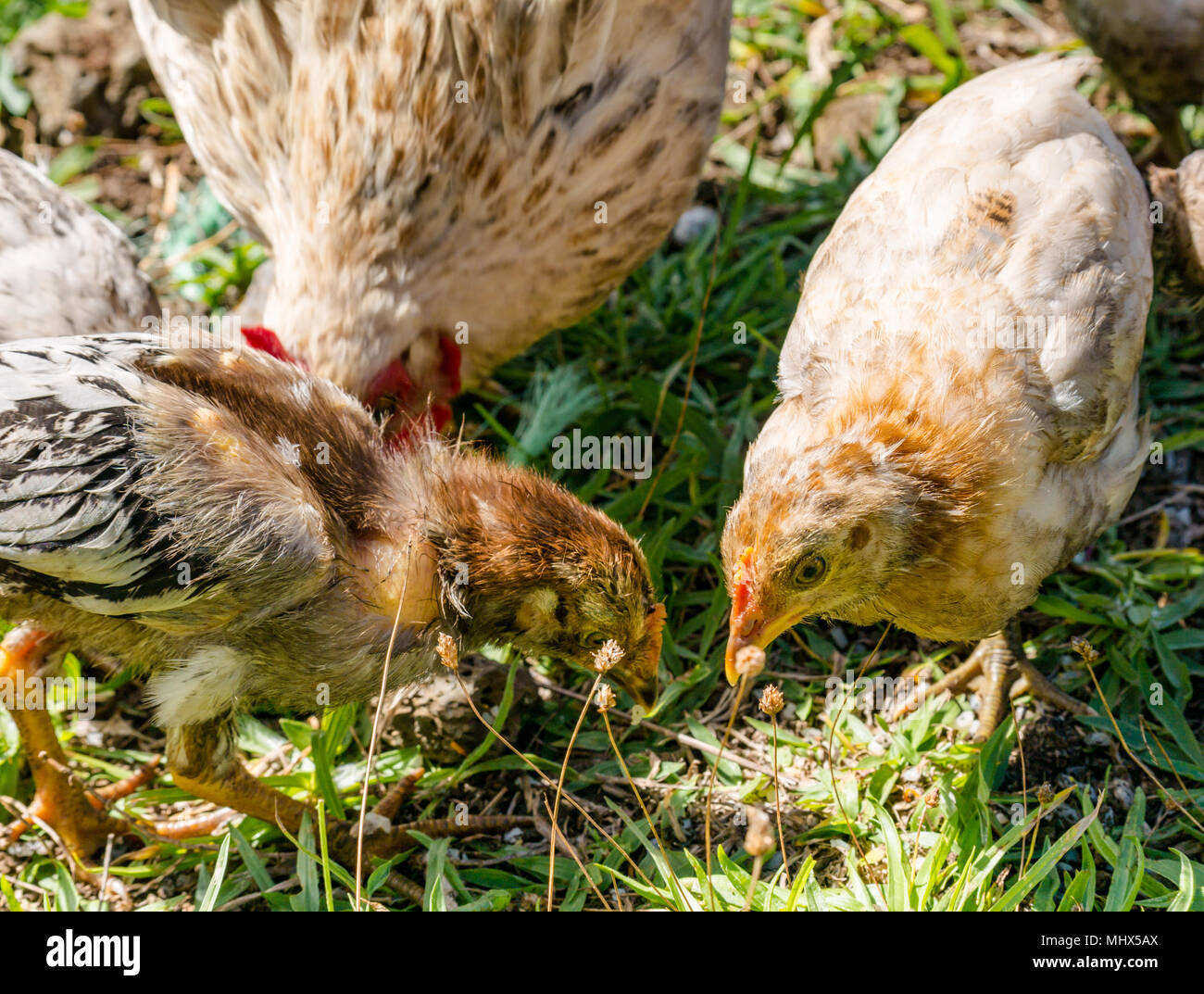 Domestic farmyard chickens, Easter Island, Chile. Female chicken with chicks feeding on the ground - Stock Image