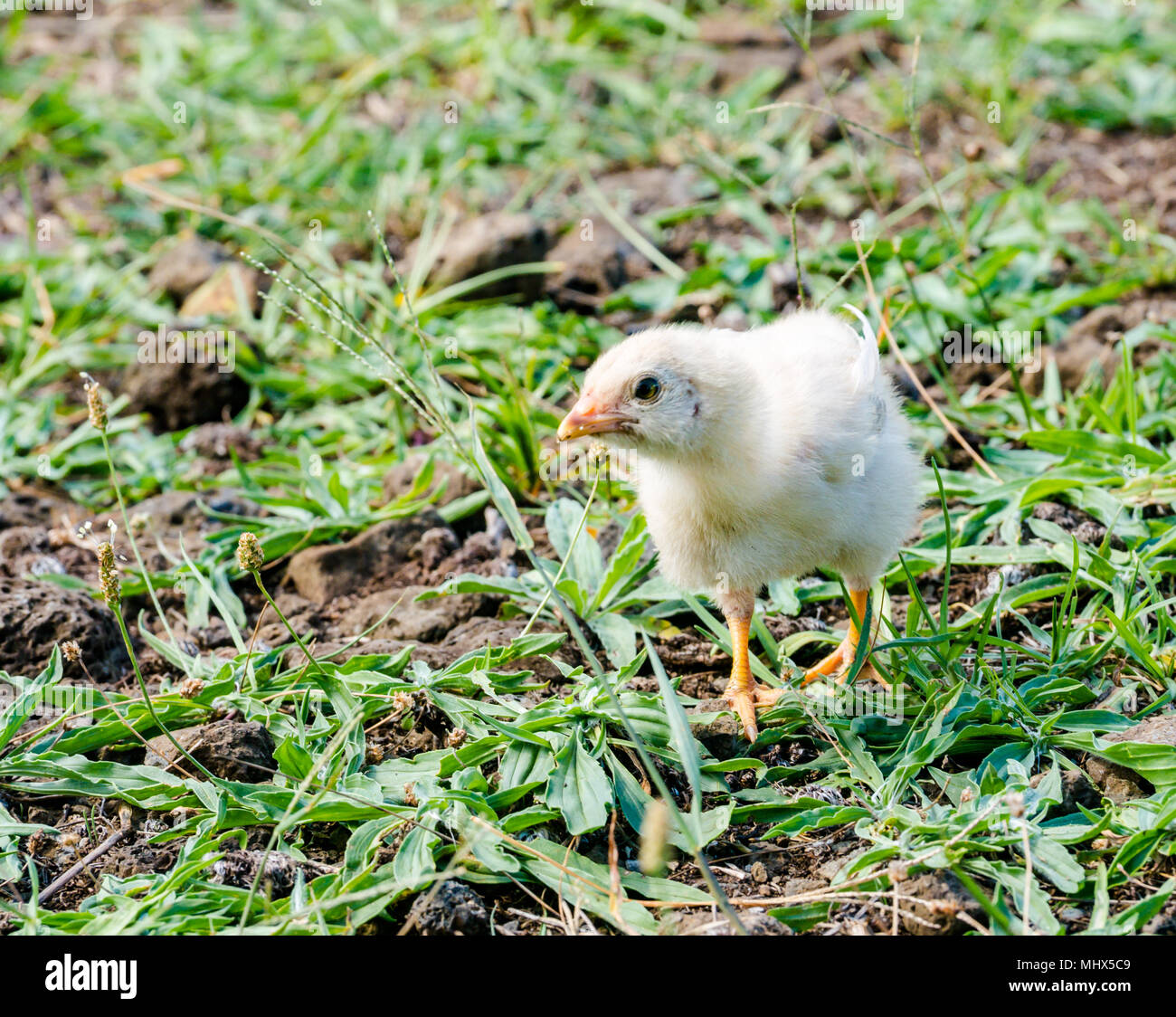 Domestic farmyard chicken, Easter Island, Chile. Close up of single fluffy yellow young chick - Stock Image