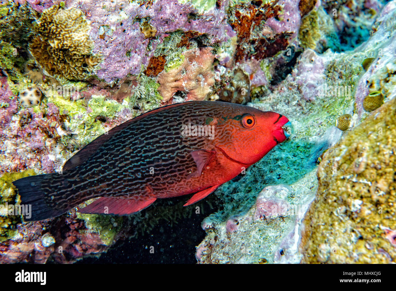 Parrot Fish Stock Photos & Parrot Fish Stock Images - Page 3 - Alamy