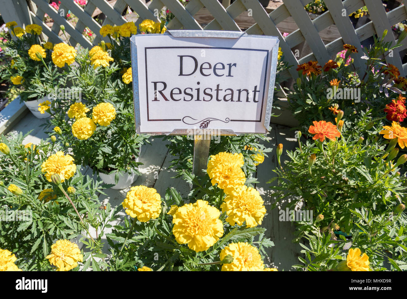 Deer Resistant Flowers Yellow With Sign For Sale Detail Stock Photo