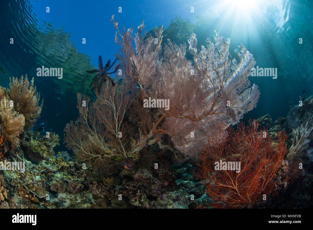 Sunlight shines on beautiful gorgonians in Raja Ampat, Indonesia. This remote region is known as the heart of marine biodiversity. - Stock Image