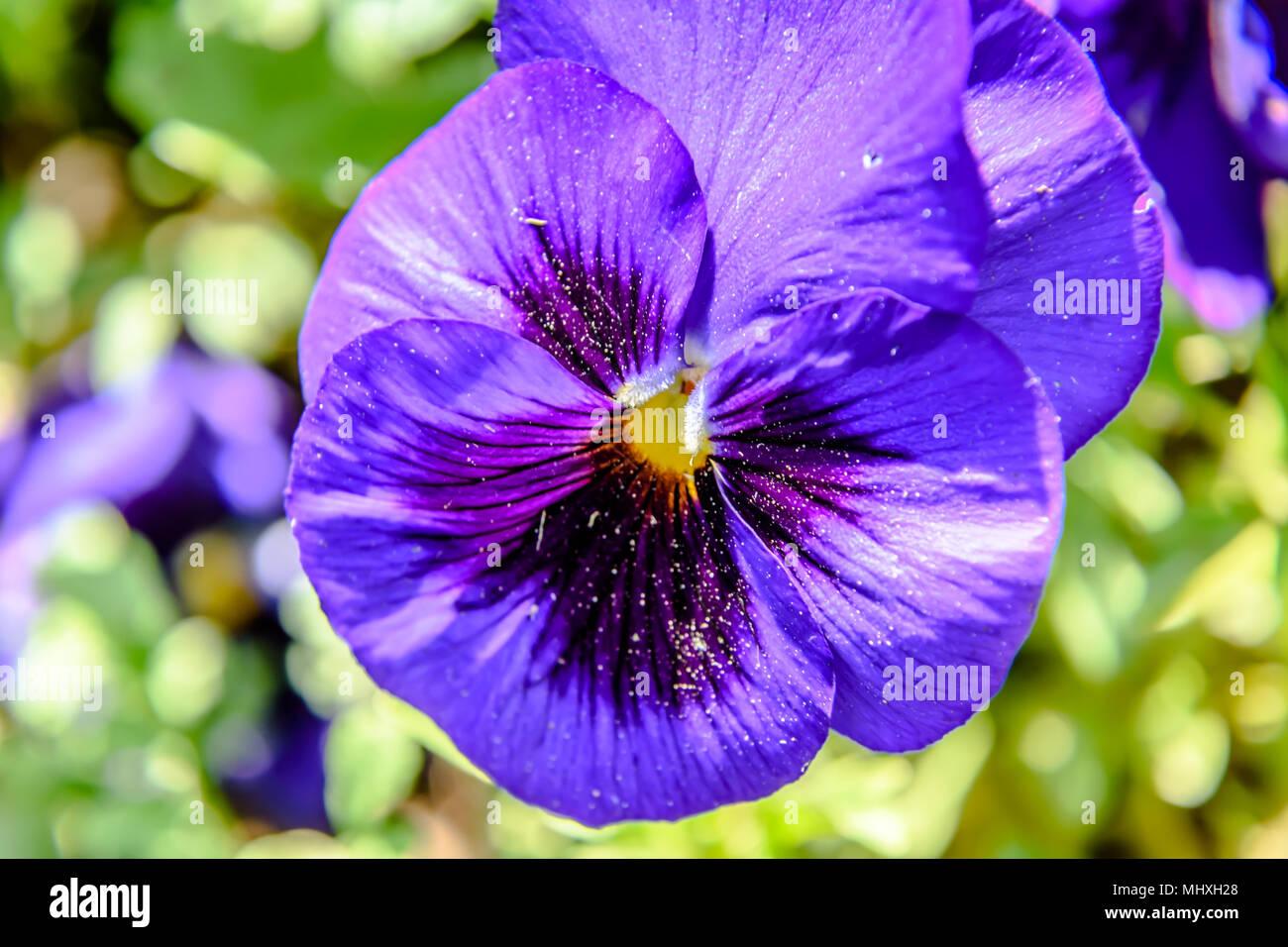 Viola tricolor - Stock Image