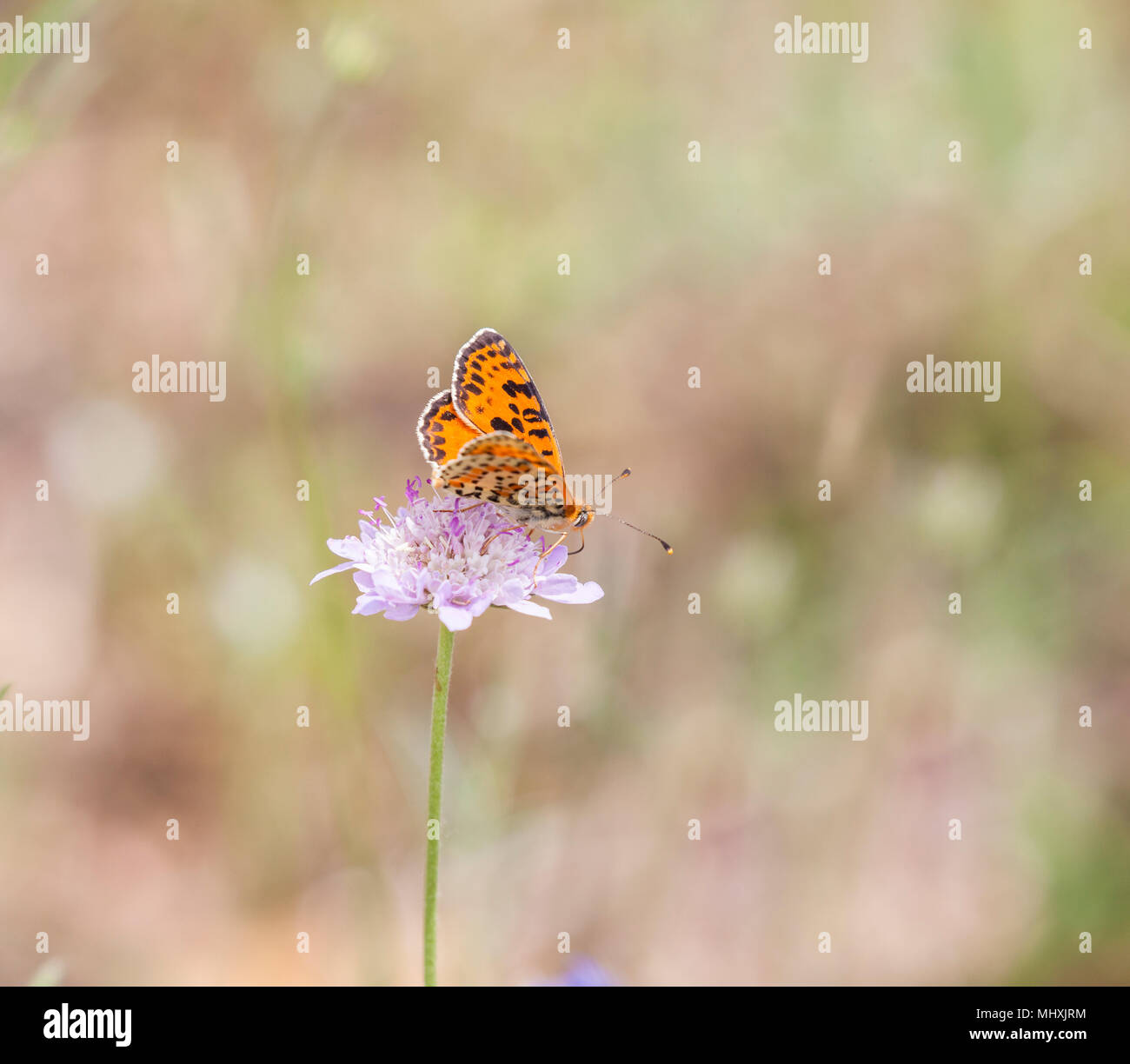 Spotted Fritillary Melitaea didyma butterfly taking nectar from a scabious flower in the Picos  de Europa Northern Spain - Stock Image