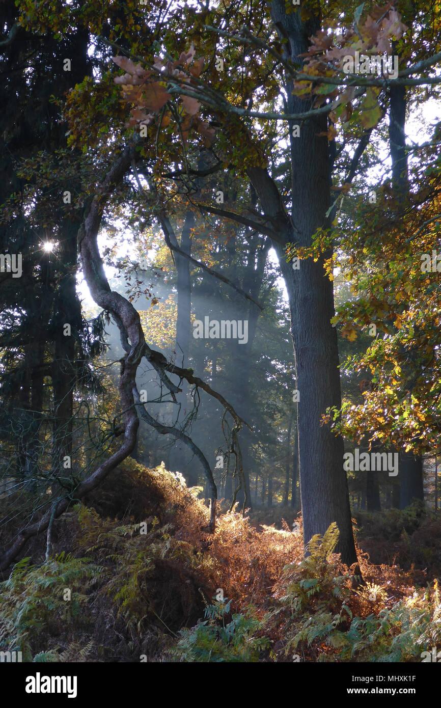 suneays passng trees in autumns | Sonnenstrahlen leuchten zwischen Bäumen im Herbst - Stock Image