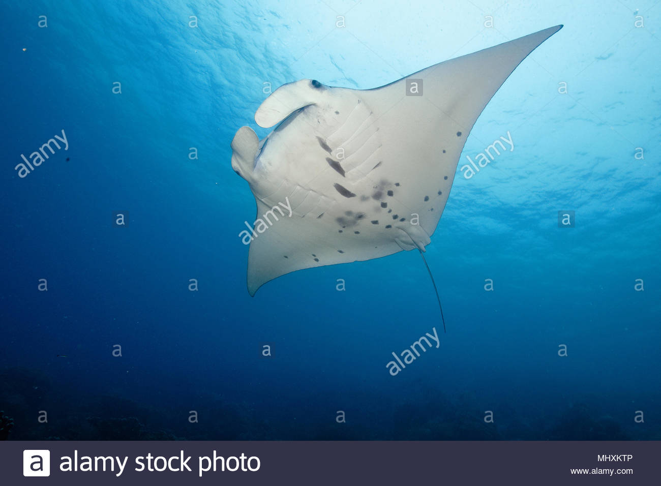 mantaray, reef manta, huge ray / /Manta alfredi) | Manta, Teufelsrochen, Flügelrochen, Riffmanta / (Manta alfredi) Stock Photo