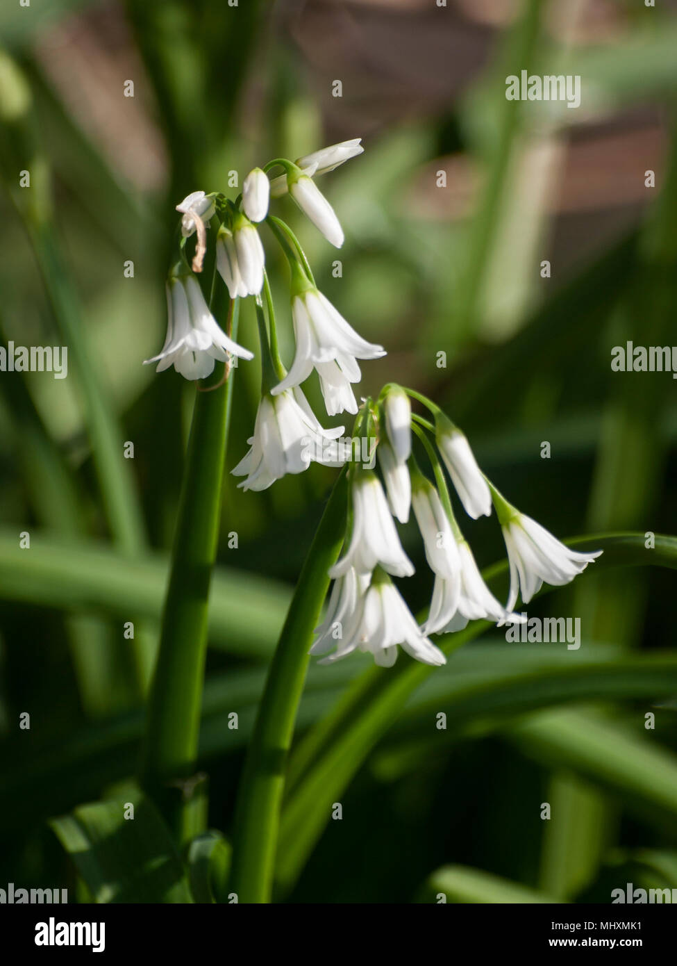 White Bell Flowers Stock Photo 183139797 Alamy