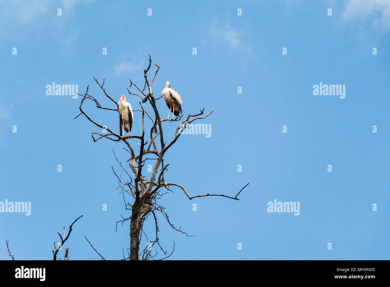 pelicans sitting in a tree in Lake Manyara, Tanzania - Stock Image