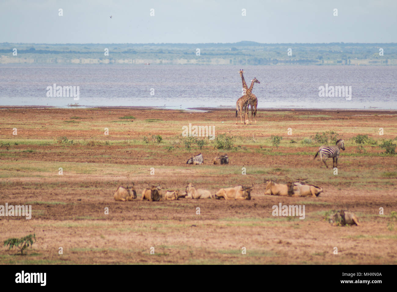 animals relaxing in the Lake Manyara, Tanzania - Stock Image