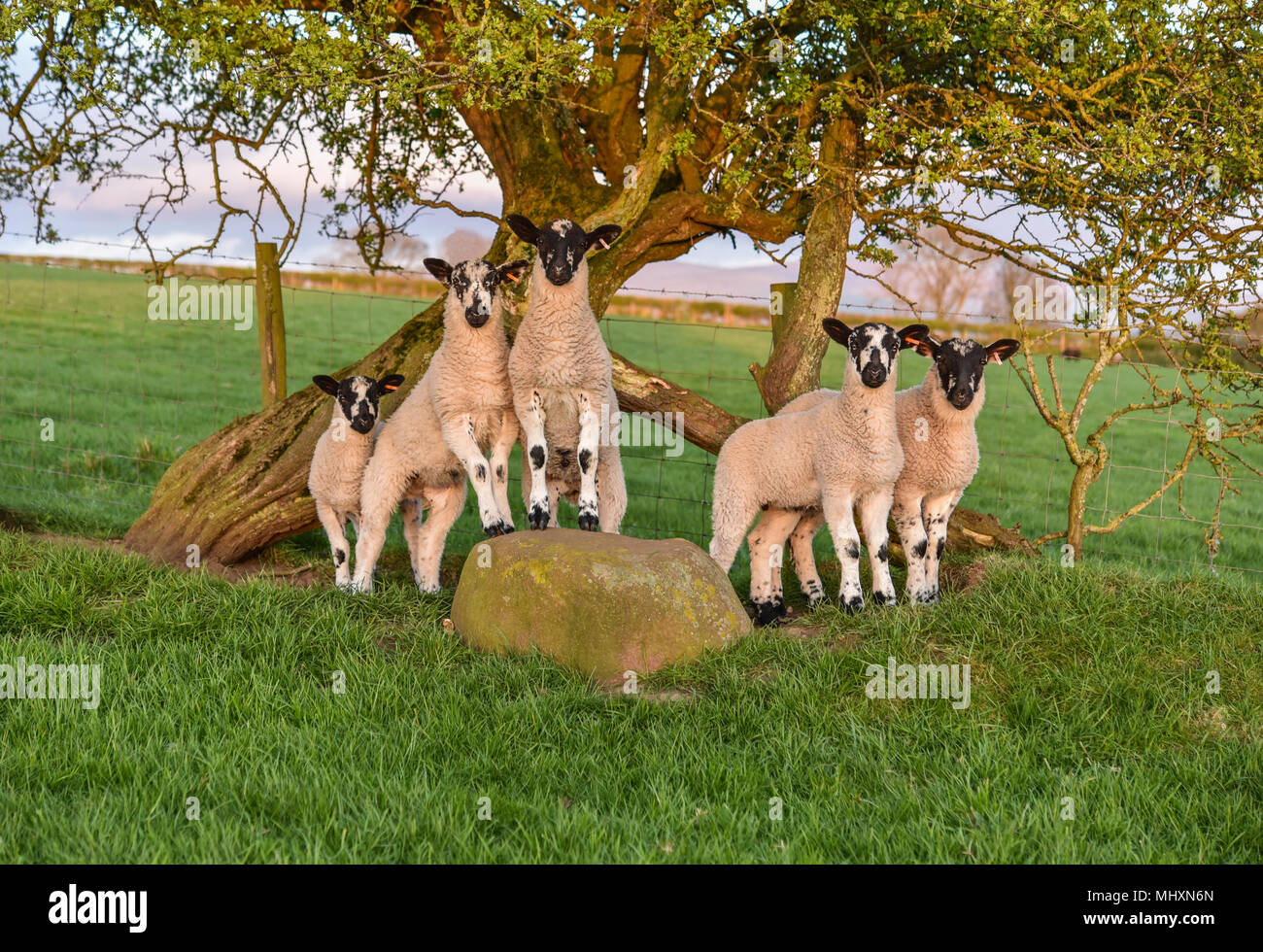 North of England Mule lambs grazing in the Eden Valley, Cumbria. - Stock Image
