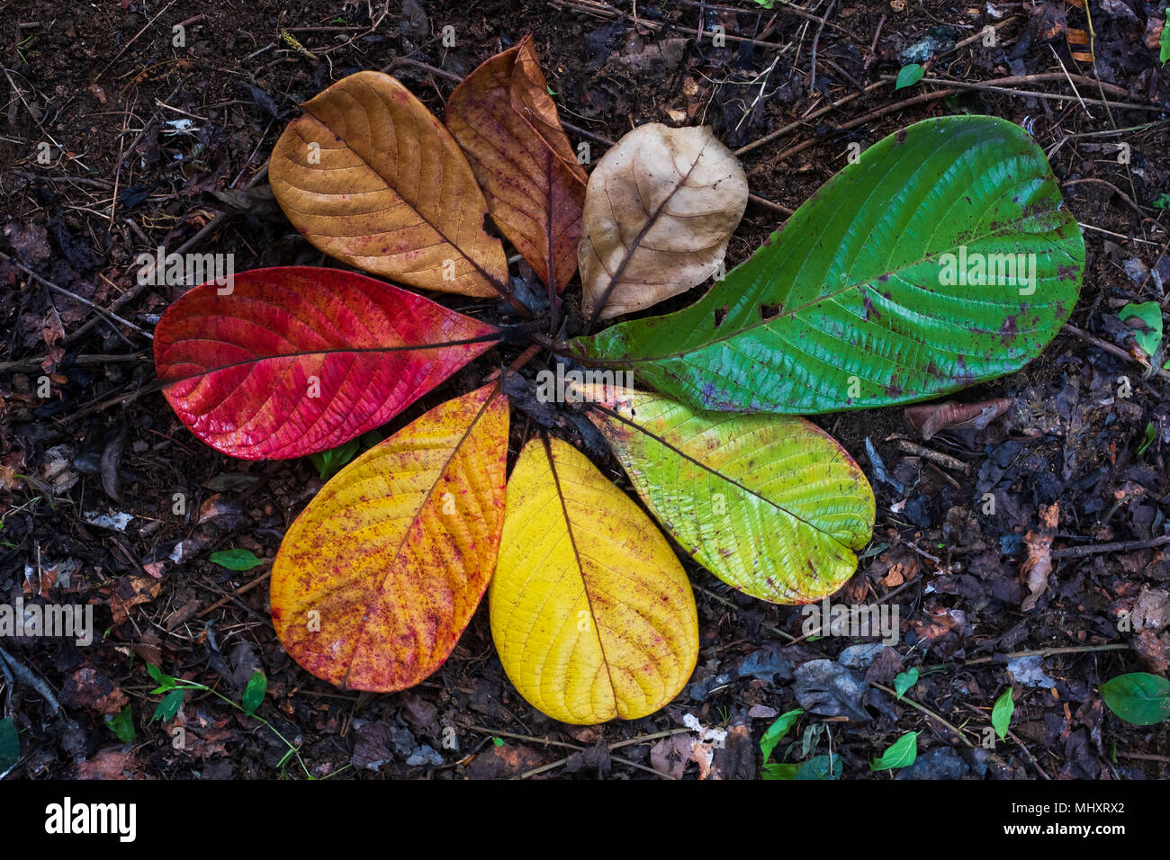 Autumn Maple leaf transition and variation concept for fall and change of season - Stock Image