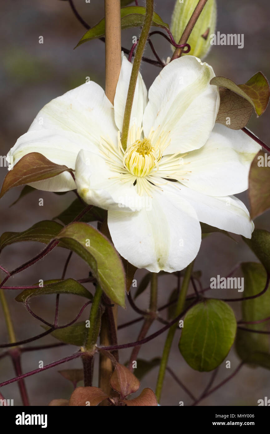 White to cream single flower of the hardy climber, Clematis 'Guernsey Cream', a mid season flowering form - Stock Image