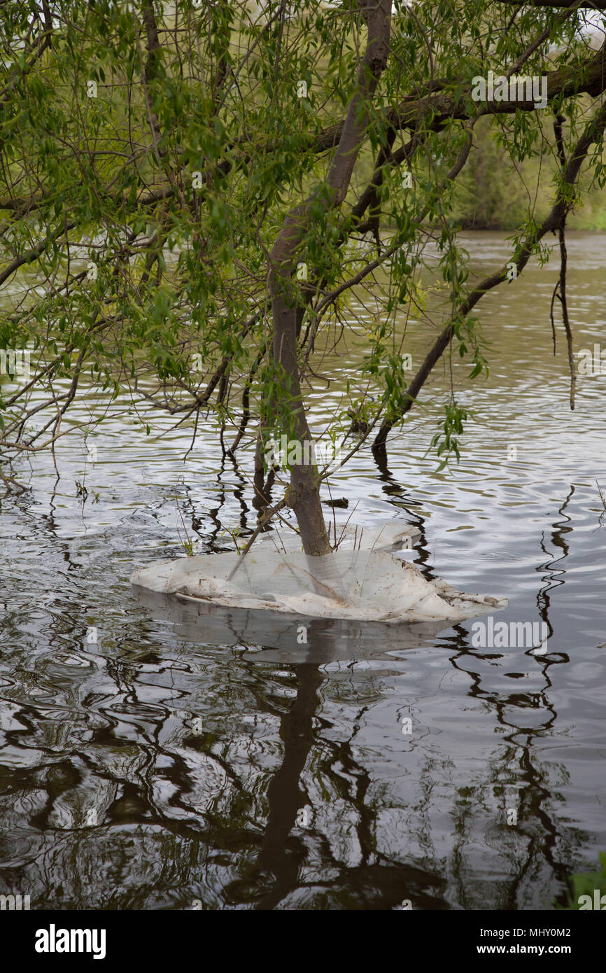 Plastic sheeting trapped around a tree on the riverbank - Stock Image