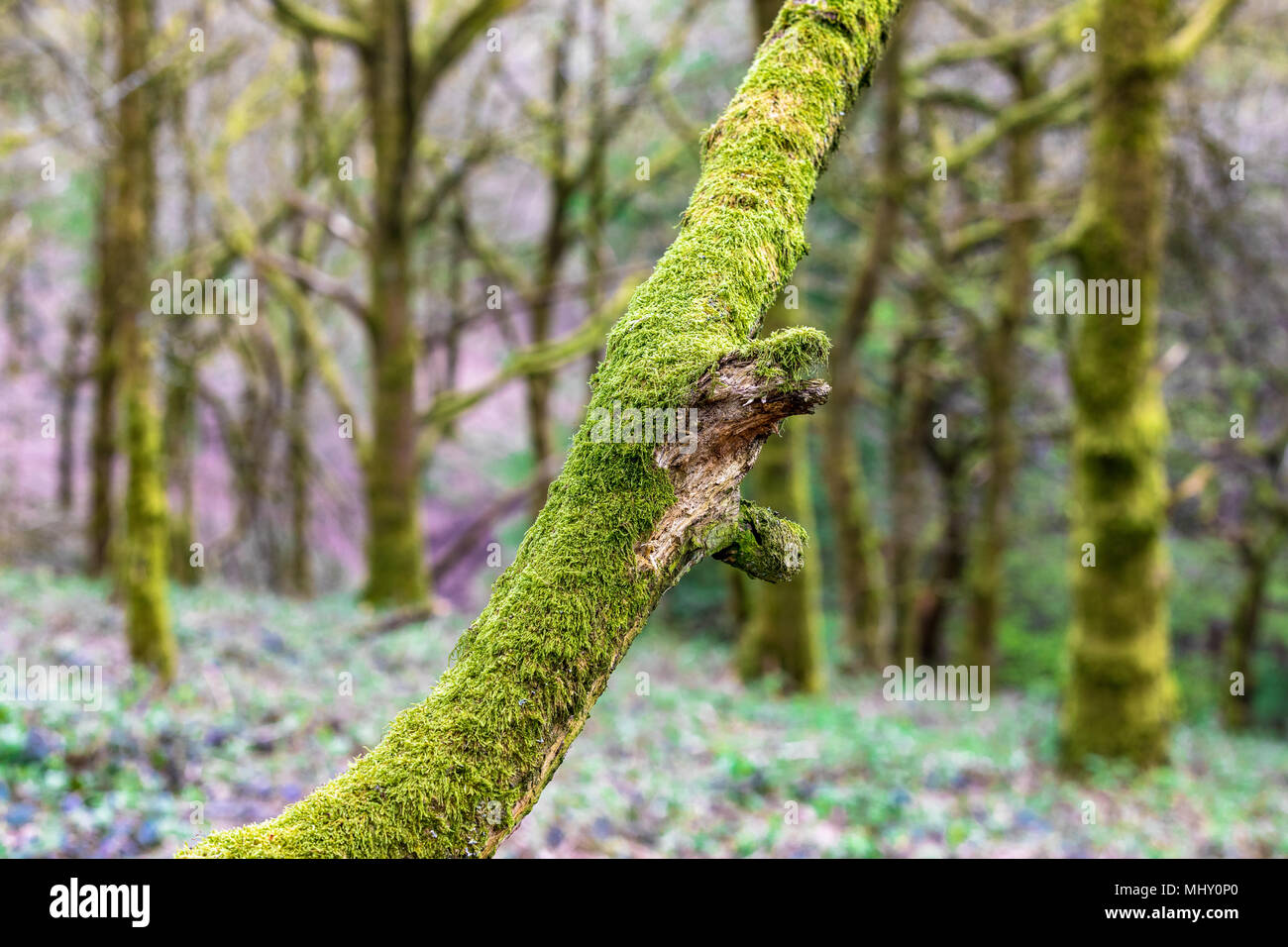 General view of woodland in spring at Nimmings Wood, Worcestershire, UK Stock Photo