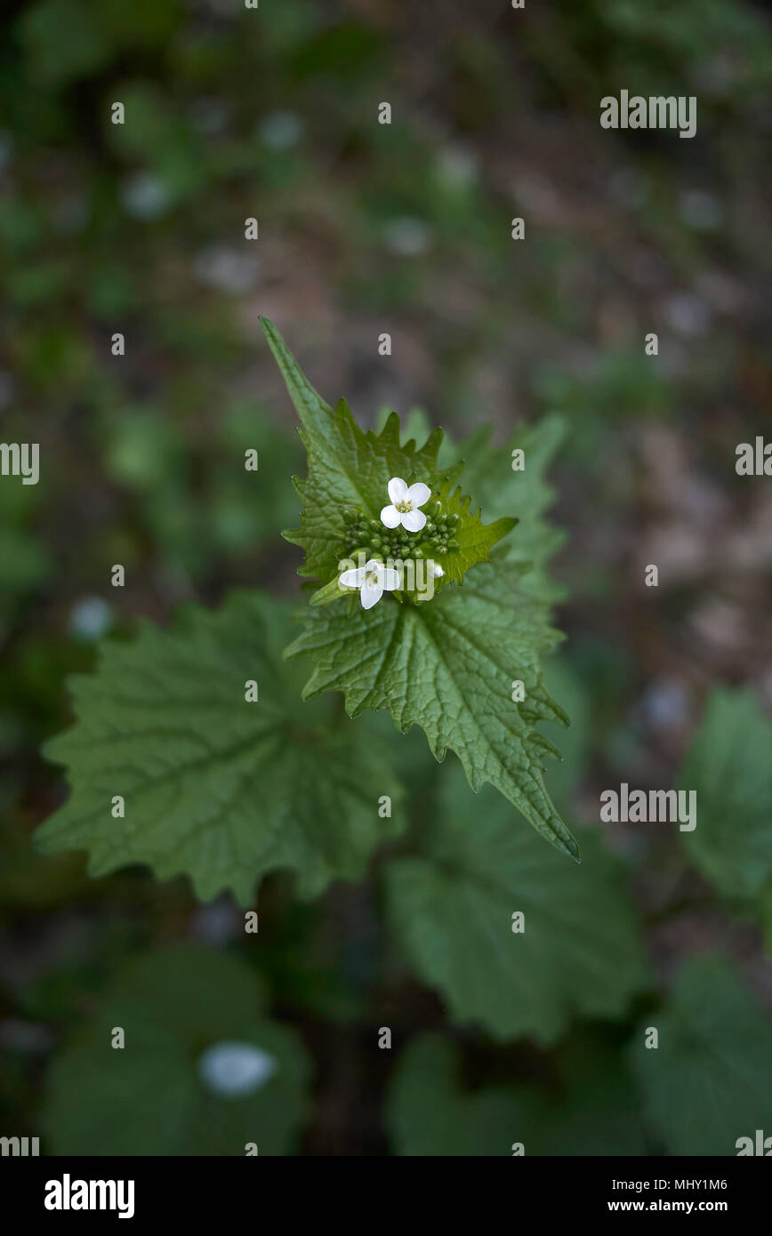 Alliaria petiolata blossom Stock Photo