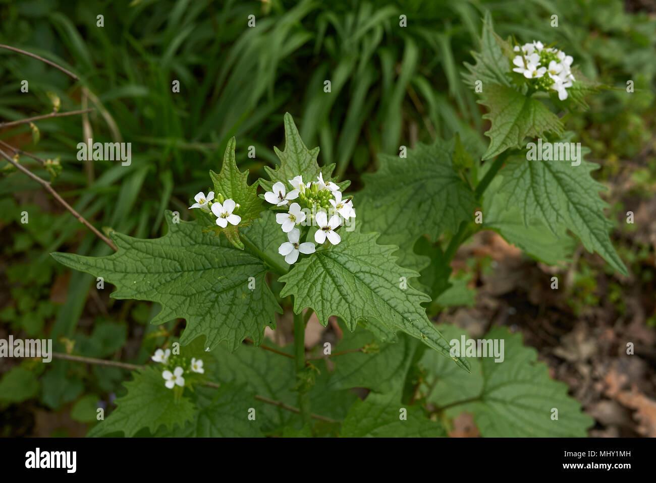 Alliaria petiolata Stock Photo