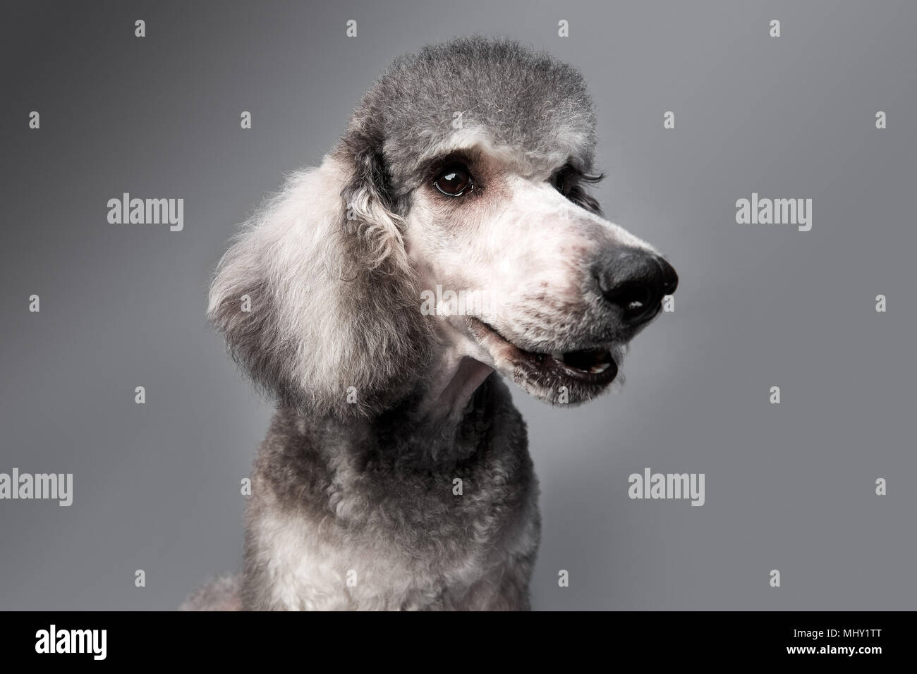 Lovely poodle - Stock Image