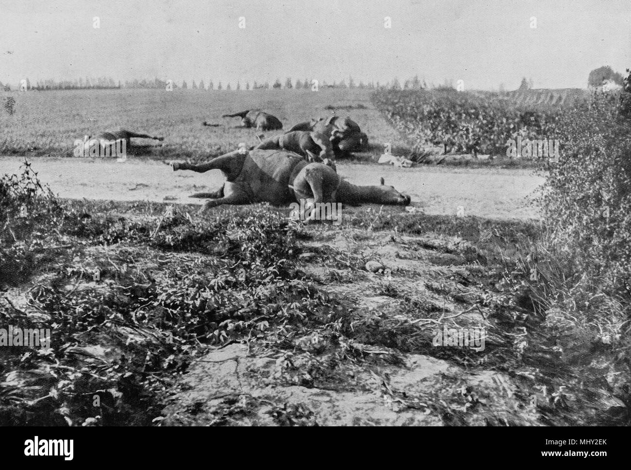 Horses killed during a battle along a road in Haelen, 1914, Belgium - Stock Image
