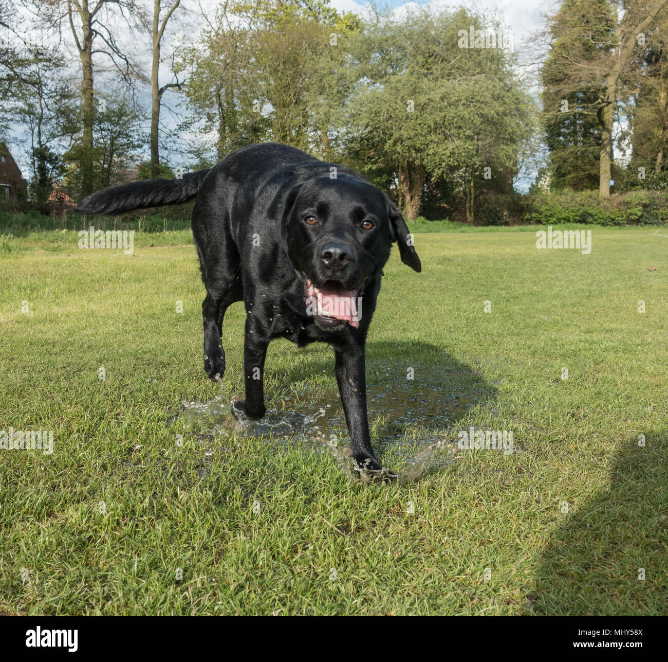 Happy black labrador dog walking in the wet grass - Stock Image