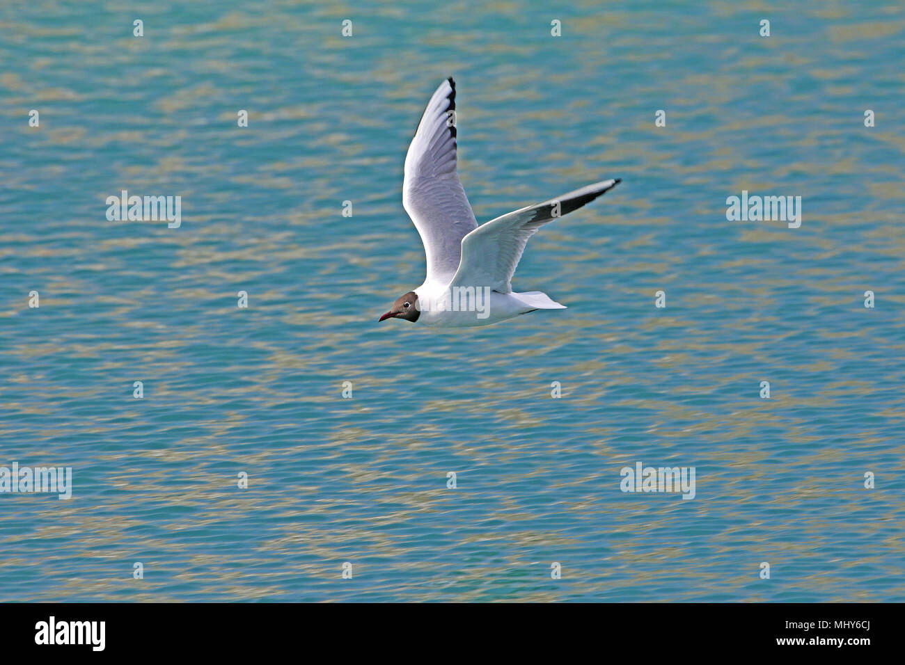 Mediterranean gull or black-headed gull Latin name larus melanocephalus or ridibundus family laridae close up in flight over the Adriatic Sea Italy - Stock Image