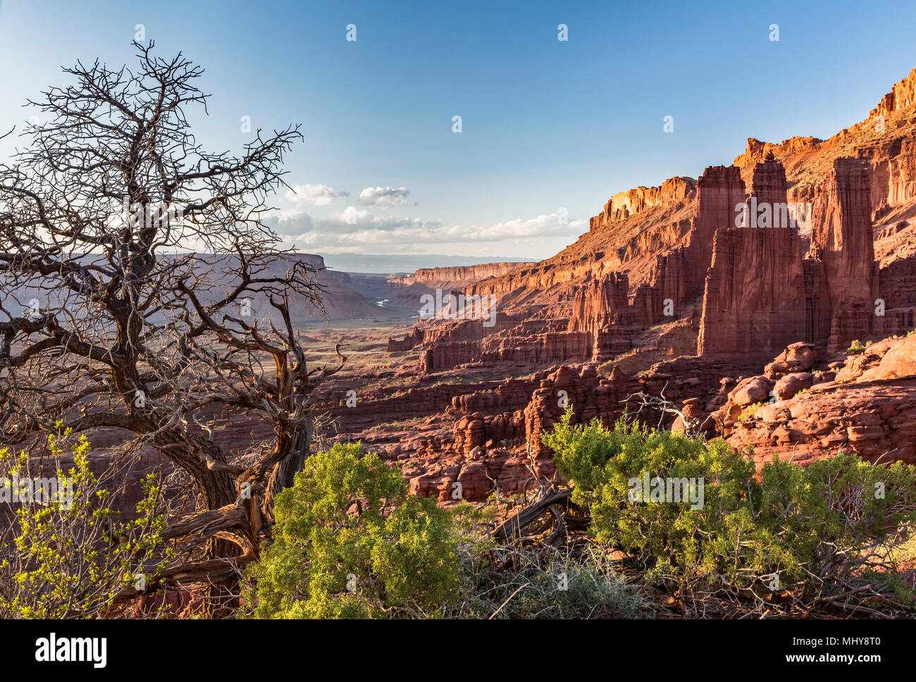 An ancient juniper tree grows near the Fisher Towers rock formations near Moab, Utah. - Stock Image