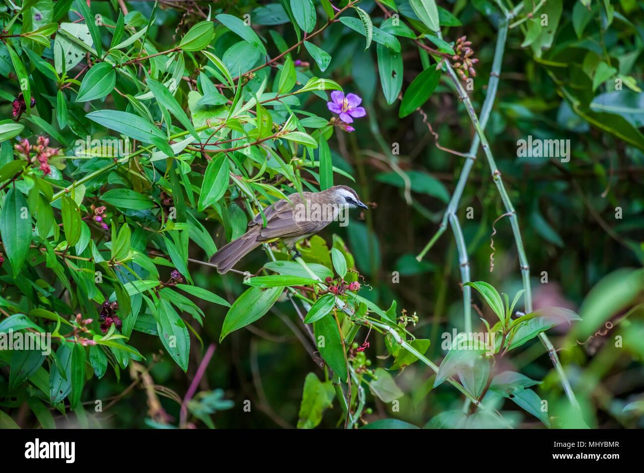 Yellow-vented Bulbul (Pycnonotus goiavier), Singapore. Stock Photo