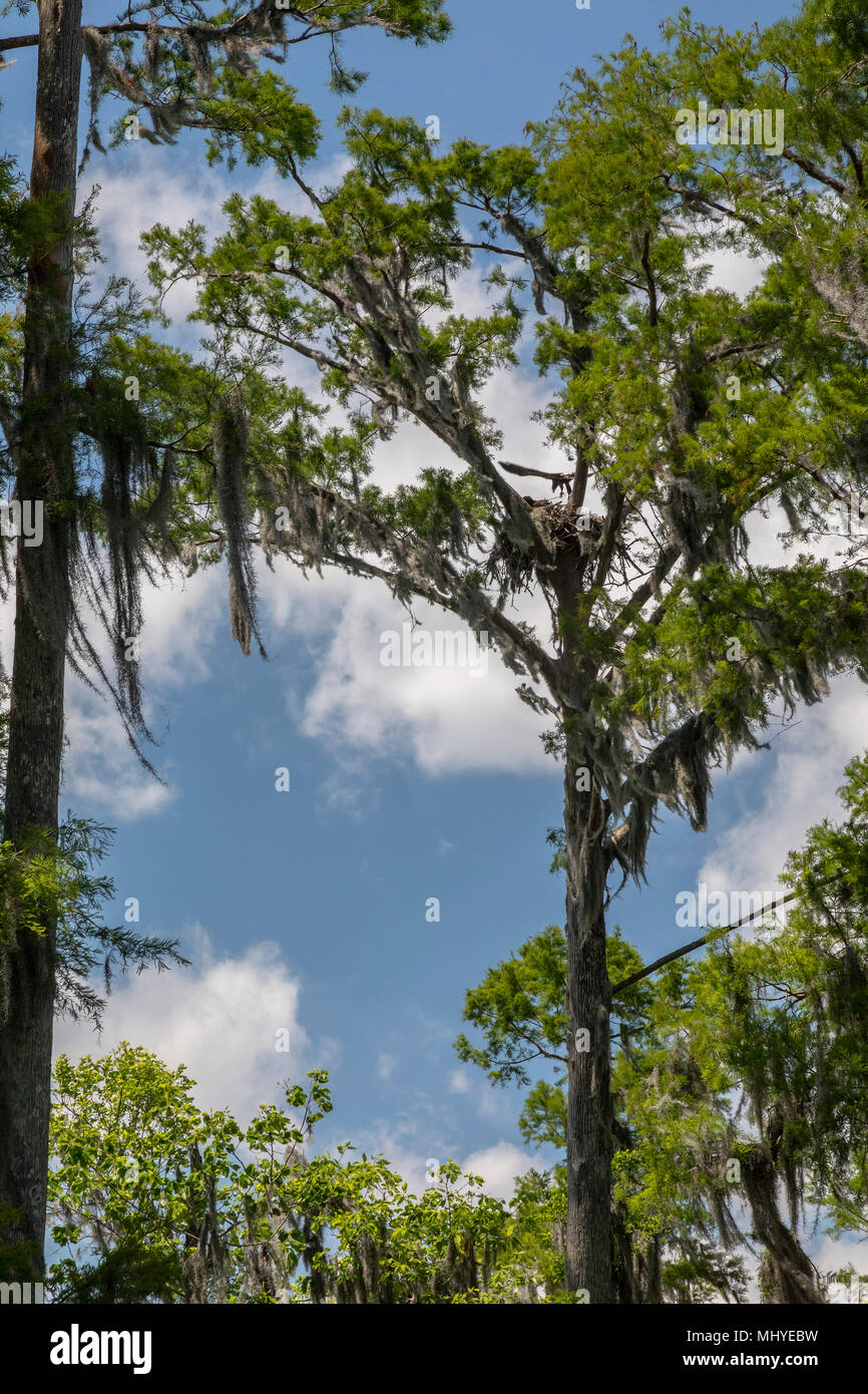 LaPlace, Louisiana - A bald eagle eaglet spreads its wings above its nest along the Shell Bank Bayou in the Maurepas Swamp Wildlife Management Area ne - Stock Image