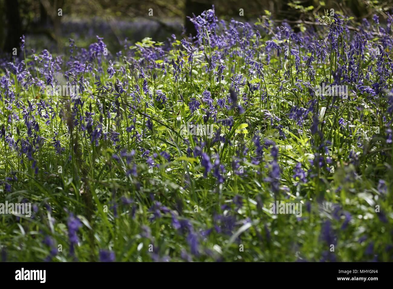 Bluebell Woods, Peasemore Village, Berkshire, England - Stock Image