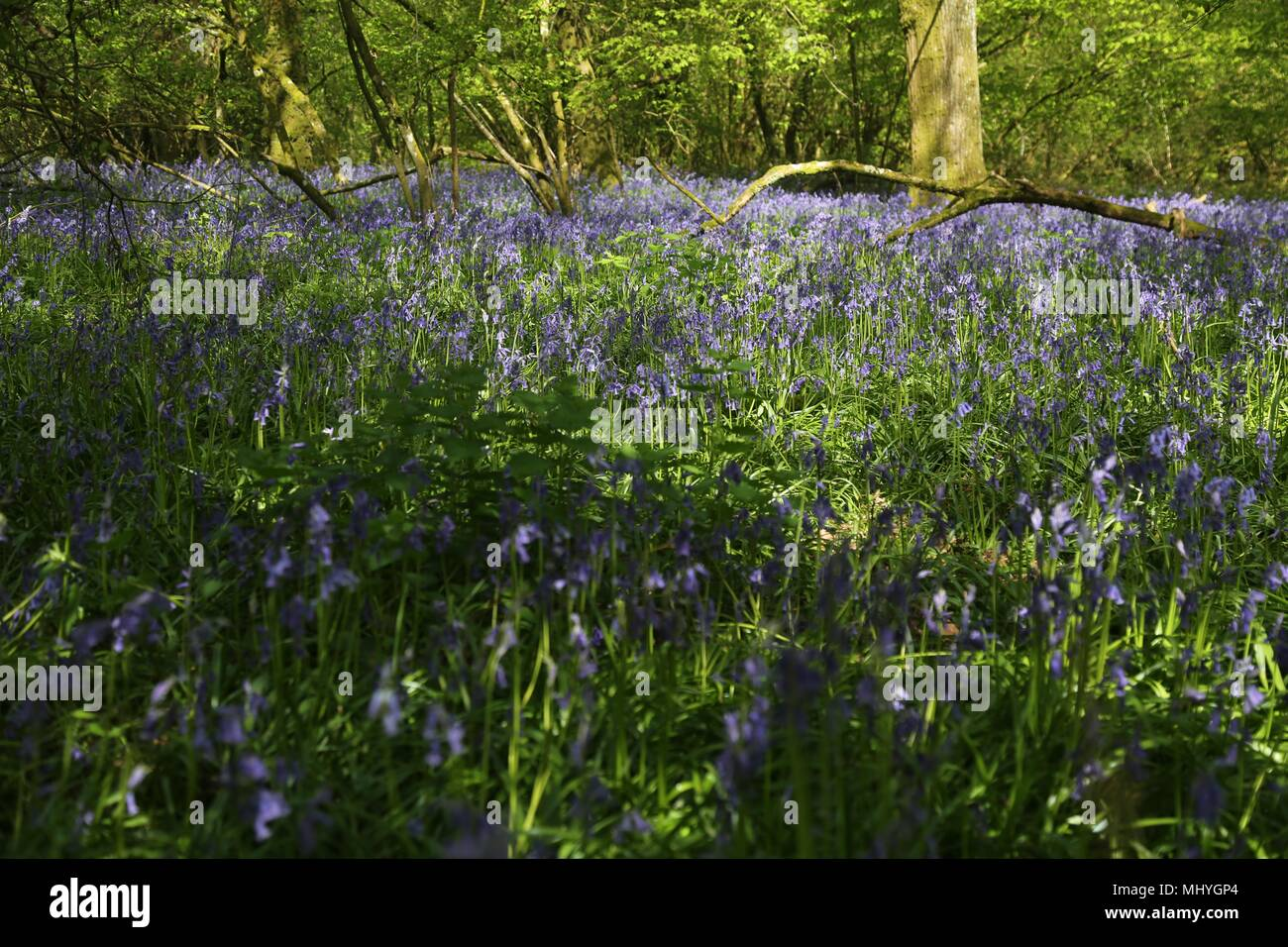 Bluebell woods, Peasemore Village, Berkshire, England by Malcolm Buckland. Design Eleven - Stock Image