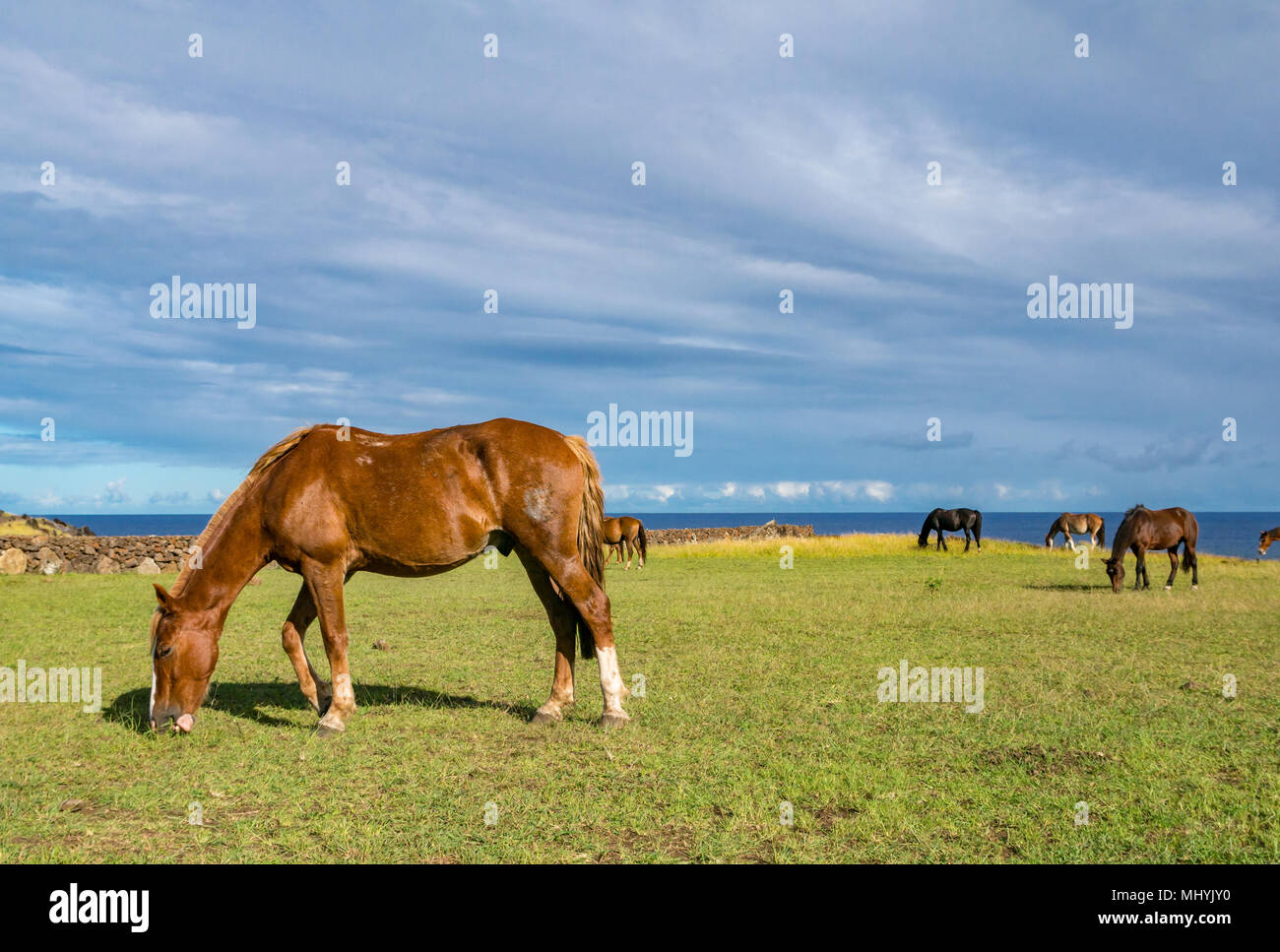 Wild horses grazing on grass next to the sea, with blue sky, Easter Island, Chile - Stock Image
