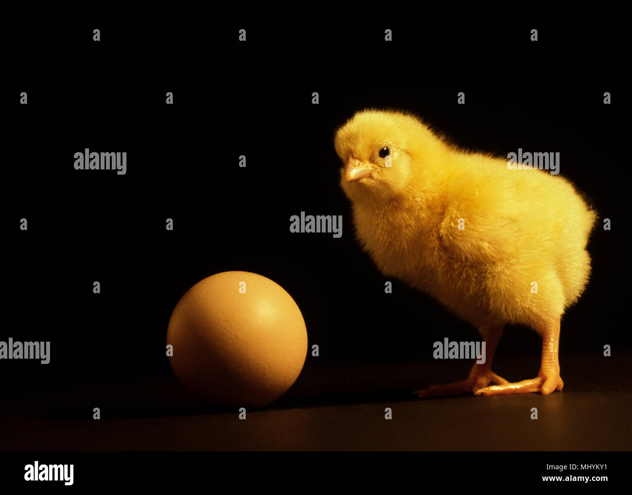 chick and egg newly hatched chick and an egg stock photo 183161189