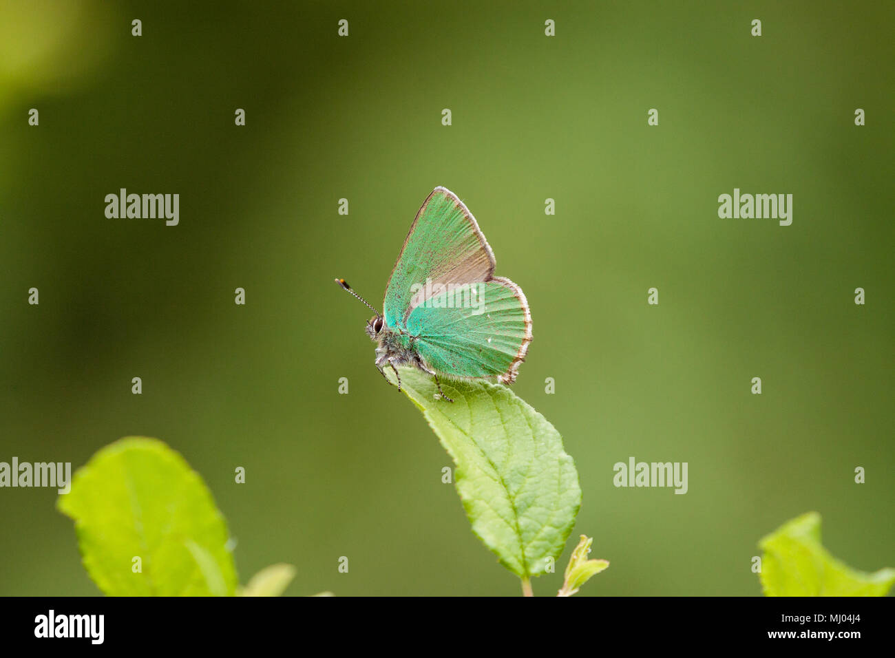 The Green Hairstreak butterfly Callophrys rubi basking on a leaf in the Picos de Europa Northern Spain also a common British butterfly - Stock Image