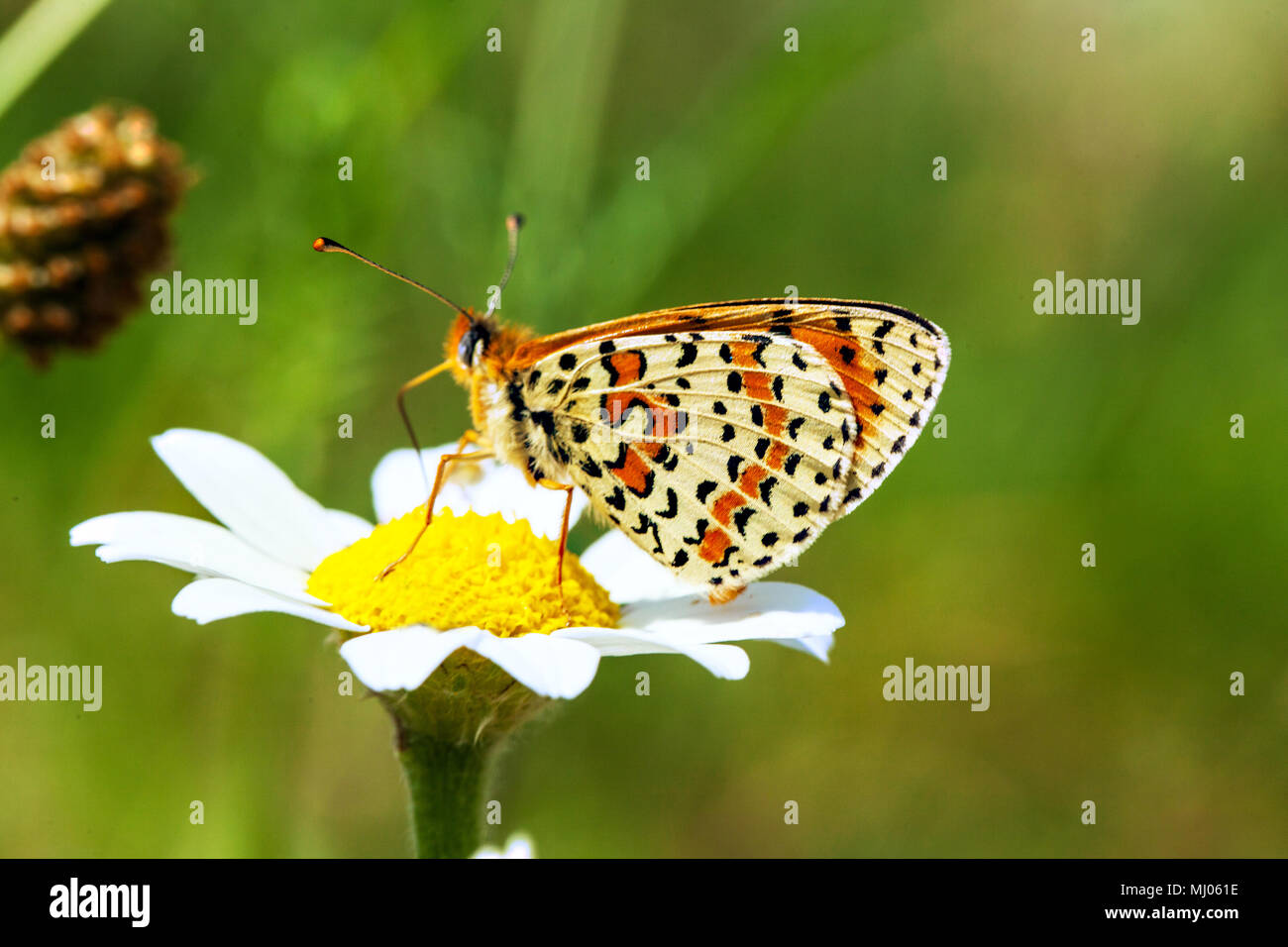 Spotted Fritillary Melitaea didyma butterfly taking nectar from a daisy flower in the Picos  de Europa Northern Spain - Stock Image