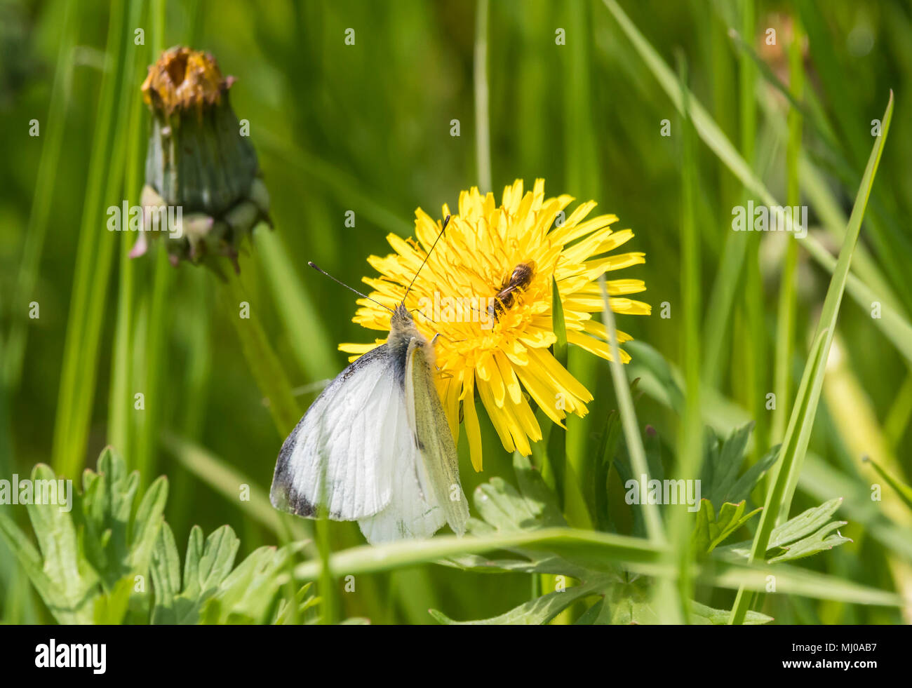 Green-Veined White butterfly (Pieris napi) on a Common Dandelion (Taraxacum officinale) flower head in late Spring in West Sussex, England, UK. - Stock Image