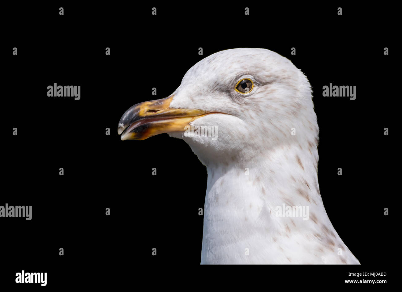 Close up of the head and beak of a Juvenile Herring Gull (Larus argentatus) in the UK on a black background. Seagull cutout closeup. - Stock Image