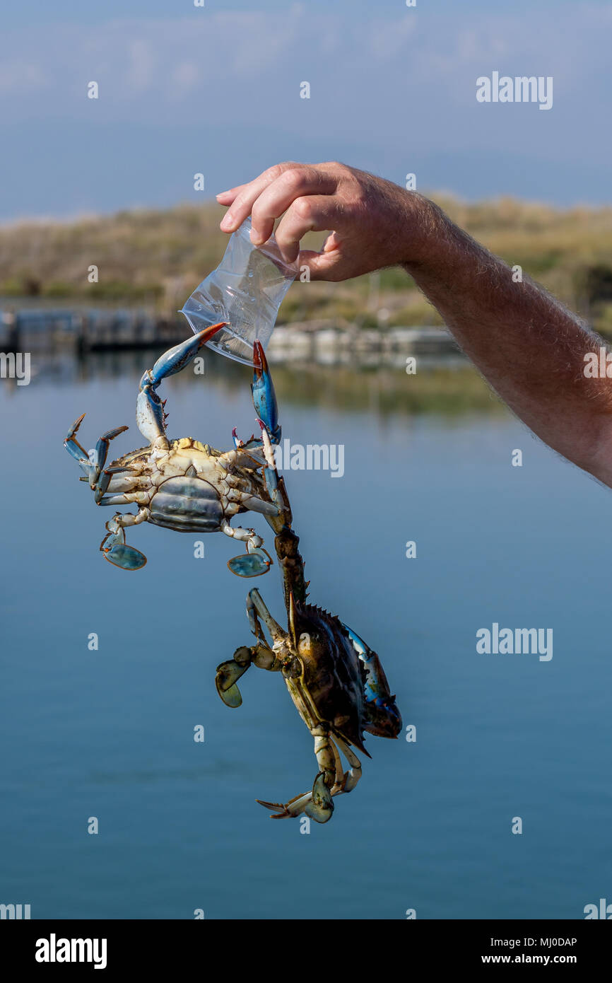 Two of the biggest threats to nature. Atlantic blue crabs alien to a Greek lagoon, hanging from a discarded plastic cup. - Stock Image