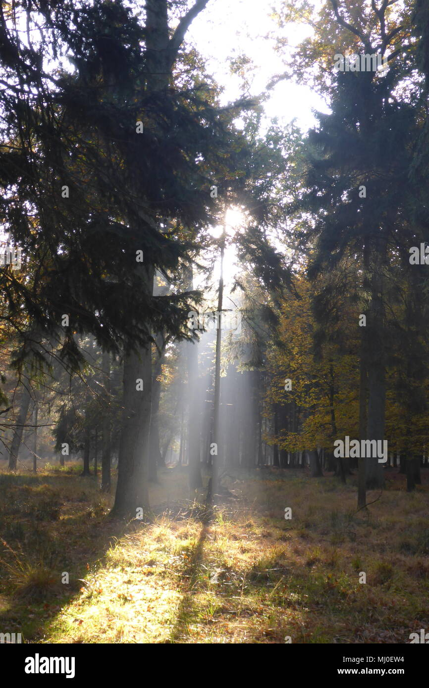 sunrays passing trees in autumn forest | Sonnenstrahlen leuchten zwischen Bäumen im Herbst - Stock Image