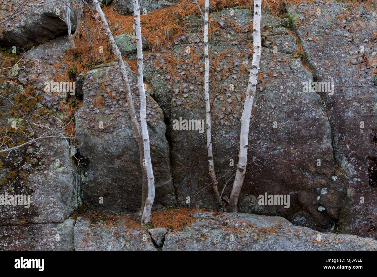 Birch trees survive in a rock-tumbled environment despite the lack of soil, in Queen Elizabeth II Wildlands Provincial Park, Ontario, Canada. - Stock Image