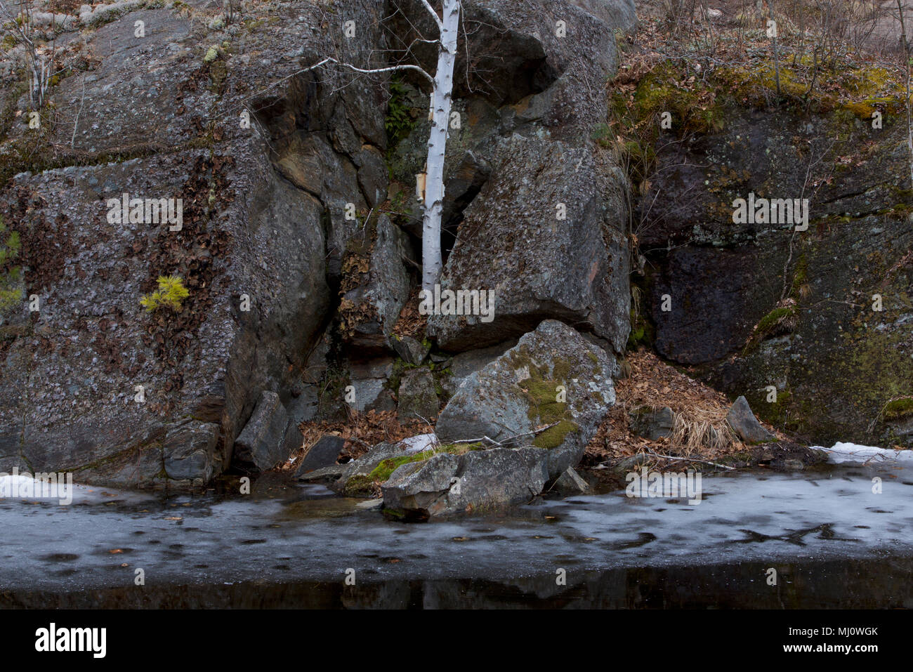 A lone birch tree survives in a rock-tumbled environment over a winter pond, despite the lack of soil, in Queen Elizabeth II Wildlands Provincial Park - Stock Image