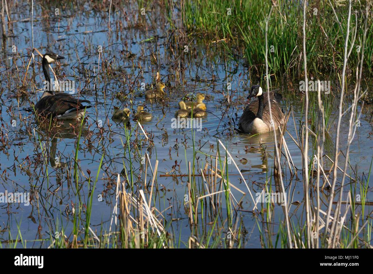 Canada Geese watching over their young at Magee Marsh - Stock Image