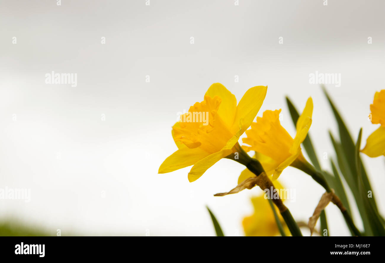 Beautiful yellow flowers beginning to bloom on a cloudy day stock beautiful yellow flowers beginning to bloom on a cloudy day izmirmasajfo