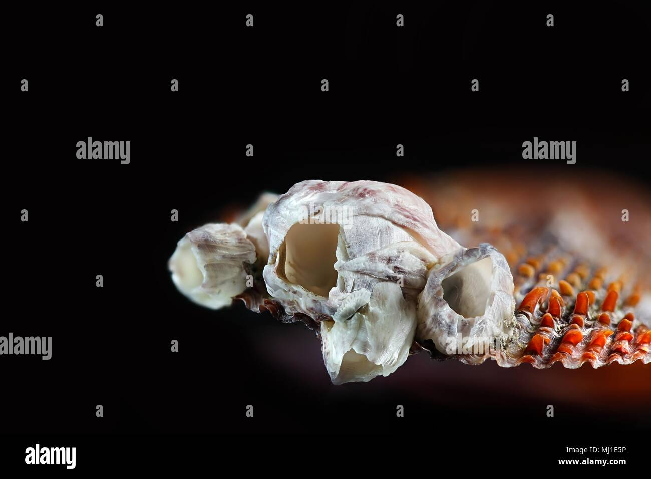 Acorn bay barnacle, Amphibalanus improvisus, an  invasive harmful species - Stock Image