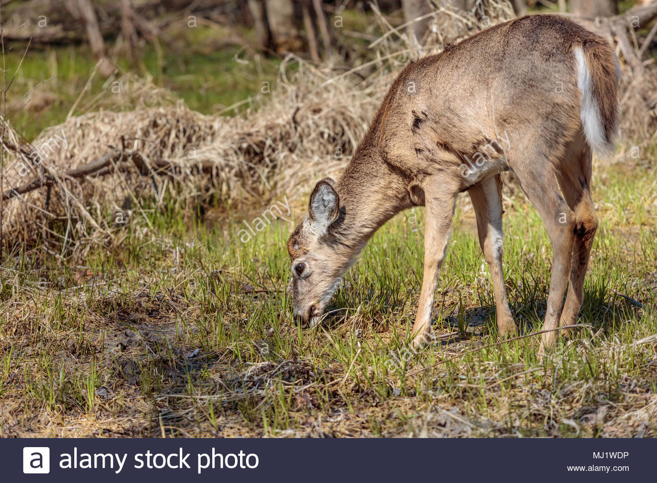 White-tailed deer Odocoileus virginianus grazing on spring grass at Lynde Shores Conservation Area in Whitby Ontario Canada - Stock Image