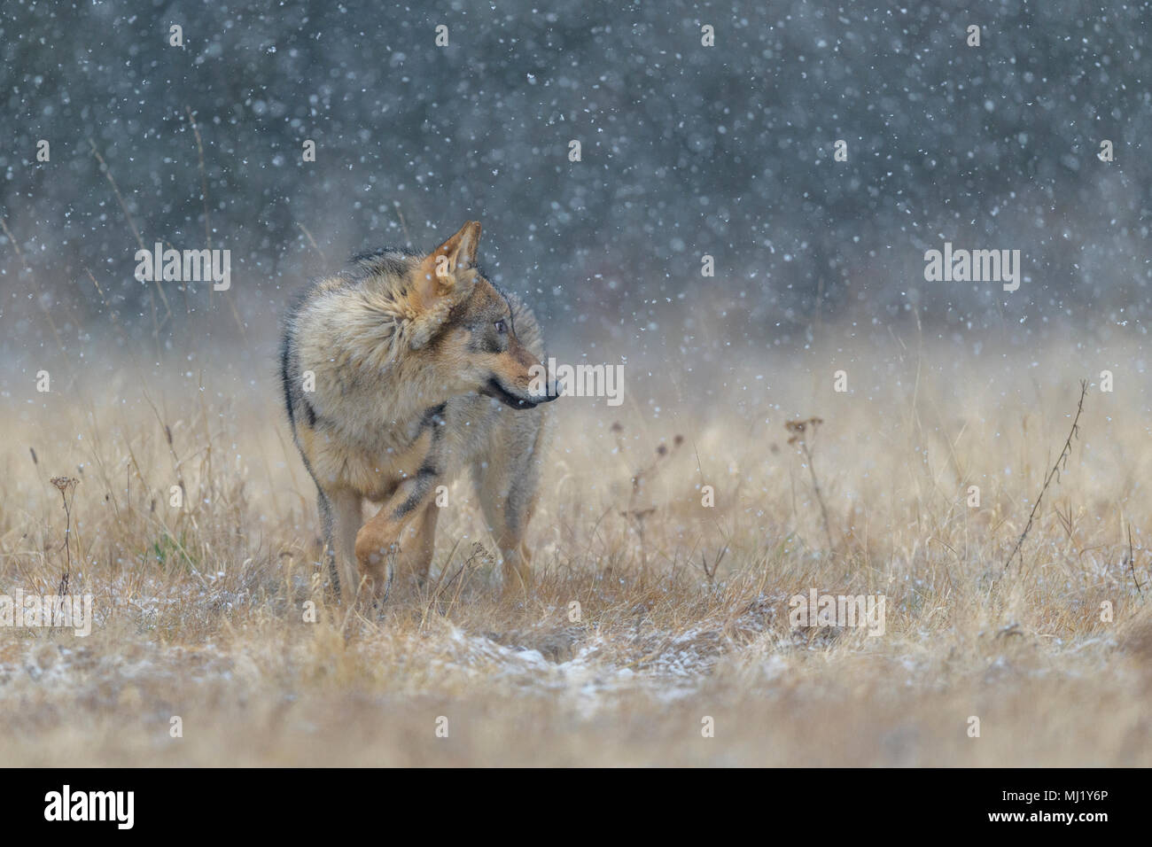 Gray wolf (Canis lupus), in a meadow in heavy snowfall, National Park Little Fatra, Slovakia - Stock Image